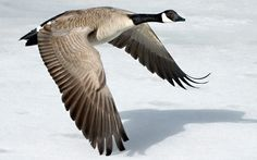 Geese Wallpapers