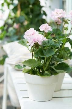 Geranie blühende zimmerpflanzen pflegeleicht