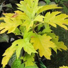 Hortensia - Hydrangea quercifolia Little Honey