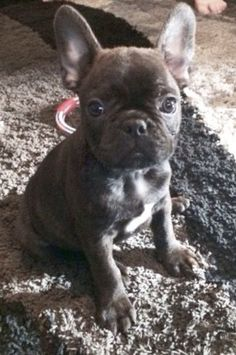 The major breeds of bulldogs are English bulldog, American bulldog, and French bulldog. The bulldog has a broad shoulder which matches with the head. Blue French Bulldog Puppies, French Bulldog Facts, French Bulldogs, English Bulldogs, Cute Puppies, Dogs And Puppies, Frenchie Puppies, Terrier Puppies, Corgi Puppies