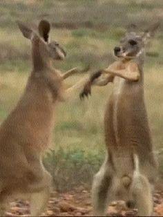 Kangaroo Boxing 2