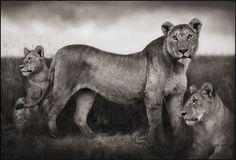 Resultados de la Búsqueda de imágenes de Google de http://taylor-company.net/wp-content/uploads/2009/08/brandt_lionfamily.jpg