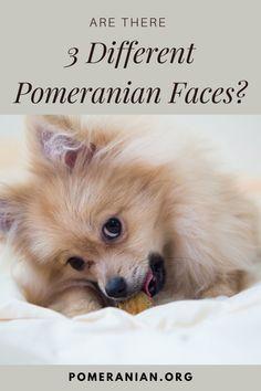 Siberian Husky Puppies, Chihuahua Puppies, Baby Puppies, Cute Puppies, Siberian Huskies, Teddy Bear Pomeranian, Cute Pomeranian, Pomeranian Haircut, Pom Dog