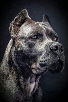 Cane Corso Italian Mastiff, Cane Corso Mastiff, Cane Corso Dog, Cane Corso Puppies, Big Dogs, Cute Dogs, Dogs And Puppies, Doggies, Beautiful Dogs