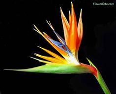 flores aves del paraiso fotos - Buscar con Google