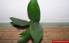 schusterpalme (aspidistra elatior)