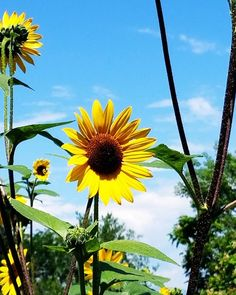 #beautiful #sunflower #sunflowers #nature #naturalbeauty #flowers #loveflowers #photography #flowerphotography #happiness Natural Beauty from BEAUT.E