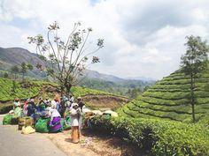 Tea tea and more tea. Spending the day biking through the plantations. #indiaescape #woutletizia