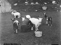 Axel Theodor Lindahl Milking goats, Bondhusdalen in Kvinnherad, Sons Of Norway, Alpine Goats, Norwegian People, Kingdom Of Sweden, Great Vacation Spots, Celtic Culture, Tromso, Trondheim, Old Pictures