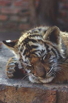 visualechoess: Sleepy cub by: Tom Ward