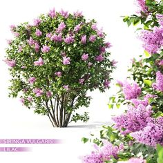 3d Lilac Flowering Plant Model 384 Free Download By Leo Nguyen 3d Wall Decor, The Slate, Free Plants, Planting Flowers, Lilac, Herbs, Leo, Model, Gardening