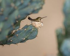 Here's a precious hummingbird in it's nest on a cactus. Have a wonderful New year! All Birds, Love Birds, Beautiful Birds, Animals And Pets, Cute Animals, Strange Animals, Especie Animal, Animal Facts, Bird Feathers