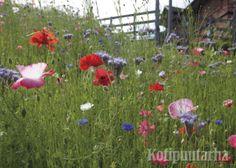 Niityt ovat kovassa nosteessa puutarhassa. Vähäravinteisessa maassa viihtyvä niitty on suomalaista kulttuurimaisemaa parhaillaan. www.kotipuutarha.fi