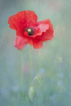 ♀bokeh photography Painterly Poppy red flower