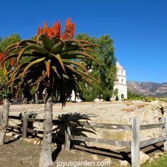 Tree Aloe at the Santa Barbara Mission
