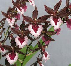 #Orchid   -   http://dennisharper.lnf.com/