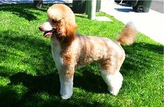 tlwn and country clip standard poodle | ... Poodle | Toy Poodle Blog | Parti Poodle: Red and White Parti Poodles