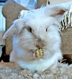 a little ruffled Animals And Pets, Cute Animals, Small Animals, Daily Bunny, Beautiful Rabbit, Rabbit Photos, Bunny Care, Fluffy Bunny, Honey Bunny
