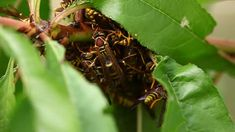 This is a very closeup video of a nest of Paper Wasp in a tree.