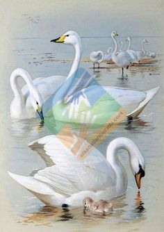 Swan Picture Rhinestones Needlework DIY Diamond Painting Cross Stitch Needle Diamond Embroidery Mosaic for Home Decor Swan Painting, Realistic Oil Painting, 5d Diamond Painting, Swan Pictures, Mute Swan, Images Vintage, Wildlife Art, Bird Art, Beautiful Birds