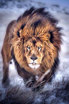Lion - photographer? *