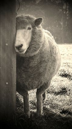 sheepish by karena goldfinch, via Flickr  Would be a cute print blown up large in a farm home bedroom. Love it!