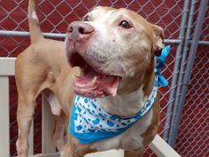 HAYES - A1043371 - - Manhattan  TO BE DESTROYED 07/22/15 ***AVERAGE SENIOR!!*** A volunteer writes: Joining us with his housemates Victor and Nina, Hayes is the old man of the pack, the rock, the wise man, the one who balances the others. He's likely very housetrained, so grateful for the chance to be outside to go potty and peeing endlessly before we walk to the park. He has a gorgeous walk…a glide….spry, elegant and sexy calling to mind how magnificent h