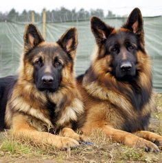 Wicked Training Your German Shepherd Dog Ideas. Mind Blowing Training Your German Shepherd Dog Ideas. Big Dogs, I Love Dogs, Cute Dogs, Dogs And Puppies, Doggies, Corgi Puppies, Chihuahua Dogs, Rottweiler, Beautiful Dogs