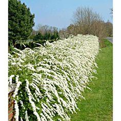 Weiße Rispen-Spiere 'Grefsheim', 1 Pflanze - BALDUR-Garten CH