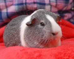 """Catori (""""spirit"""") is a spunky girl with an outgoing personality and she is ready for adoption in Nevada SPCA's (www.nevadaspca.org) Lovebugs Room. She is an American guinea pig, 2 years of age. Catori needed us due to her previous owners' financial hardship."""