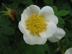 Duinroosje - Rosa pimpinellifolia