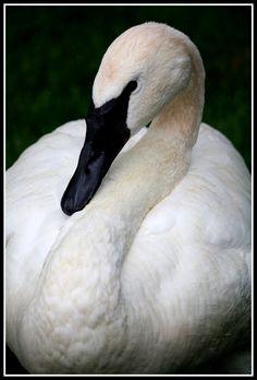 Trumpeter Swan by Meg Marcinkus Swan Love, Beautiful Swan, Beautiful Birds, Black Swan Bird, Black Swan Tattoo, Trumpeter Swan, Bird Species, Wild Birds, Beautiful Creatures