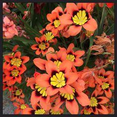 Orange flowers #flowers #orange