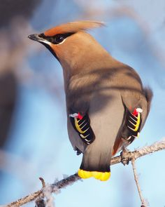 Colorful birds - A Bohemian Waxwing showing off the coloration on its wings.