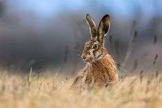 Rabbit by Szedenics Csaba on Animal Intelligence, Keystone Species, Stone Painting, Hare, National Geographic, Pet Birds, Cute Animals, Wildlife, Creatures
