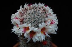 Mammillaria albicans f. slevinii LAU 36