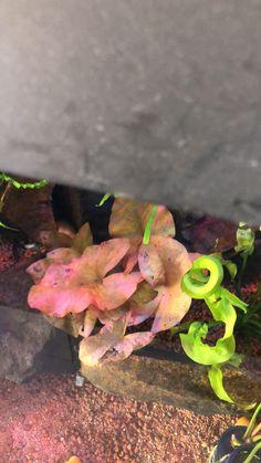 Angel Fish Tank, Lilly Plants