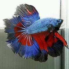 AquaBid.com - HM RED BLUE COSMO FANCY