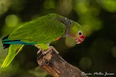 Endangered Vinaceous Amazon (scientific name: Amazona vinacea)