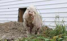 After Incredible Rescue, Tab the Pig Steps Outside for the First Time in Years