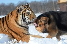 Suria the Siberian tiger was bred at the wildlife sanctuary and has grown up alongside Jenny the German shepherd, right