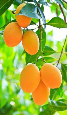 About all things that improve your health and wellness: Health benefits of mango: Wallpaper Nature Flowers, Rose Flower Wallpaper, Beautiful Landscape Wallpaper, Beautiful Flowers Wallpapers, Nice Wallpapers, Mango Fruit, Fruit And Veg, Fruits And Veggies, Fresh Fruit