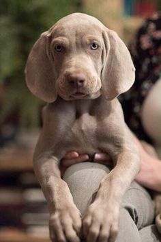 Machiatto the Weimaraner Pup