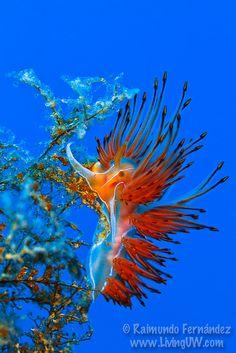 Dondice banyulensis Nudibranch by Rai Fernandez