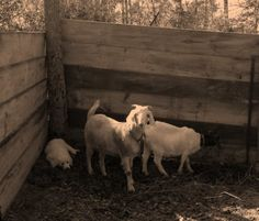 Chubby Dog Farm has gone from raw land to a livable barndominium to a  working… Barndominium, Has Gone, Dogs, Animals, Animaux, Doggies, Animal, Animales, Pet Dogs