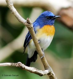 Blue-throated Flycatcher, Indian sub-continent
