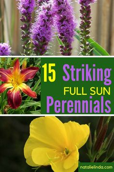 Perennials for Your Garden These full sun and low-maintenance perennials will brighten up your garden year after year! They're also perfect for gardening beginners!These full sun and low-maintenance perennials will brighten up your garden year after year! Long Blooming Perennials, Hardy Perennials, Flowers Perennials, Perrenial Flowers, Full Sun Flowers, Full Sun Plants, Full Sun Container Plants, Summer Flowers, Plants That Love Sun
