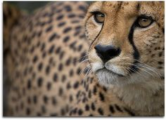 A cheetah....had the opportunity to pet one, many moons ago at what used to be the Bridgetown Save Easy. We bought a deck of cards that had the owner and cheetah's picture on them.....I'll always remember this