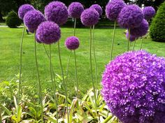 Purple Aliums-one of my faves, so cute they remind me of horton hears a who