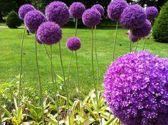 I love purple alliums